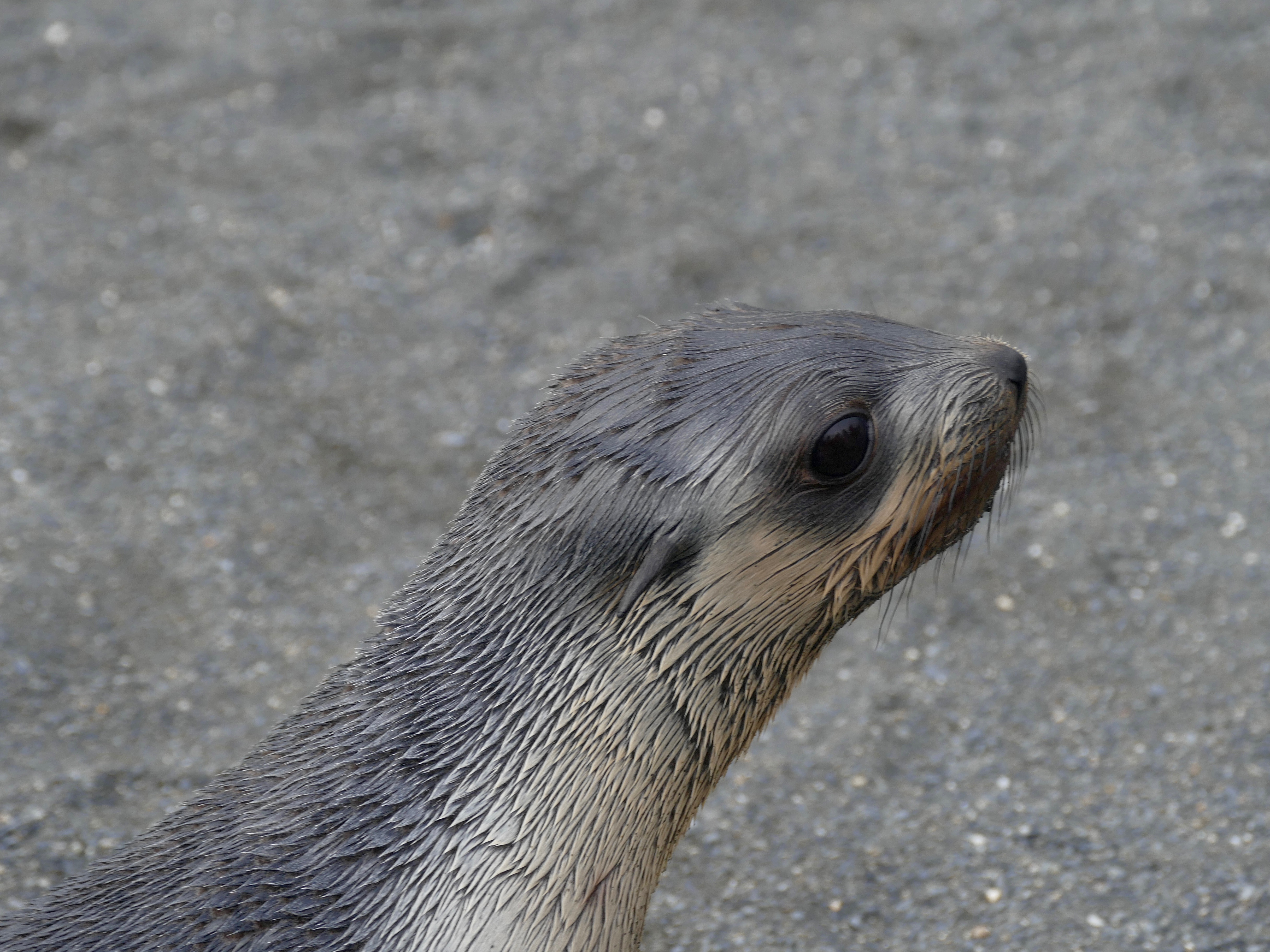 Fur seal pup in South Georgia; will it be big enough to survive when migration begins?