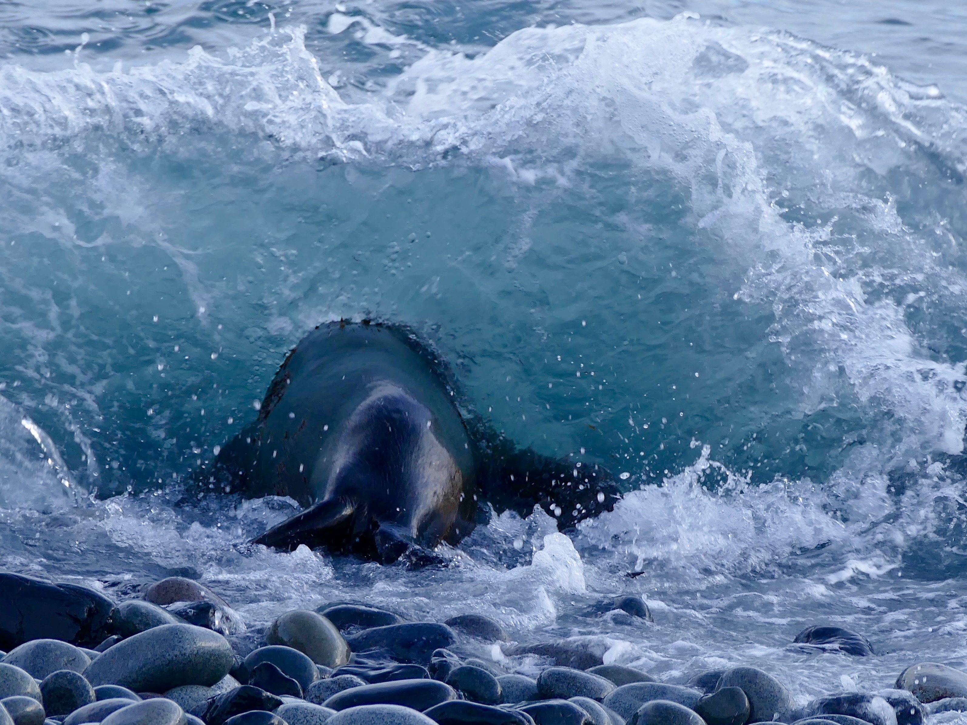 Fur seal diving into water at Fort Point, South Shetlands, resting between breeding and migration to winter at sea