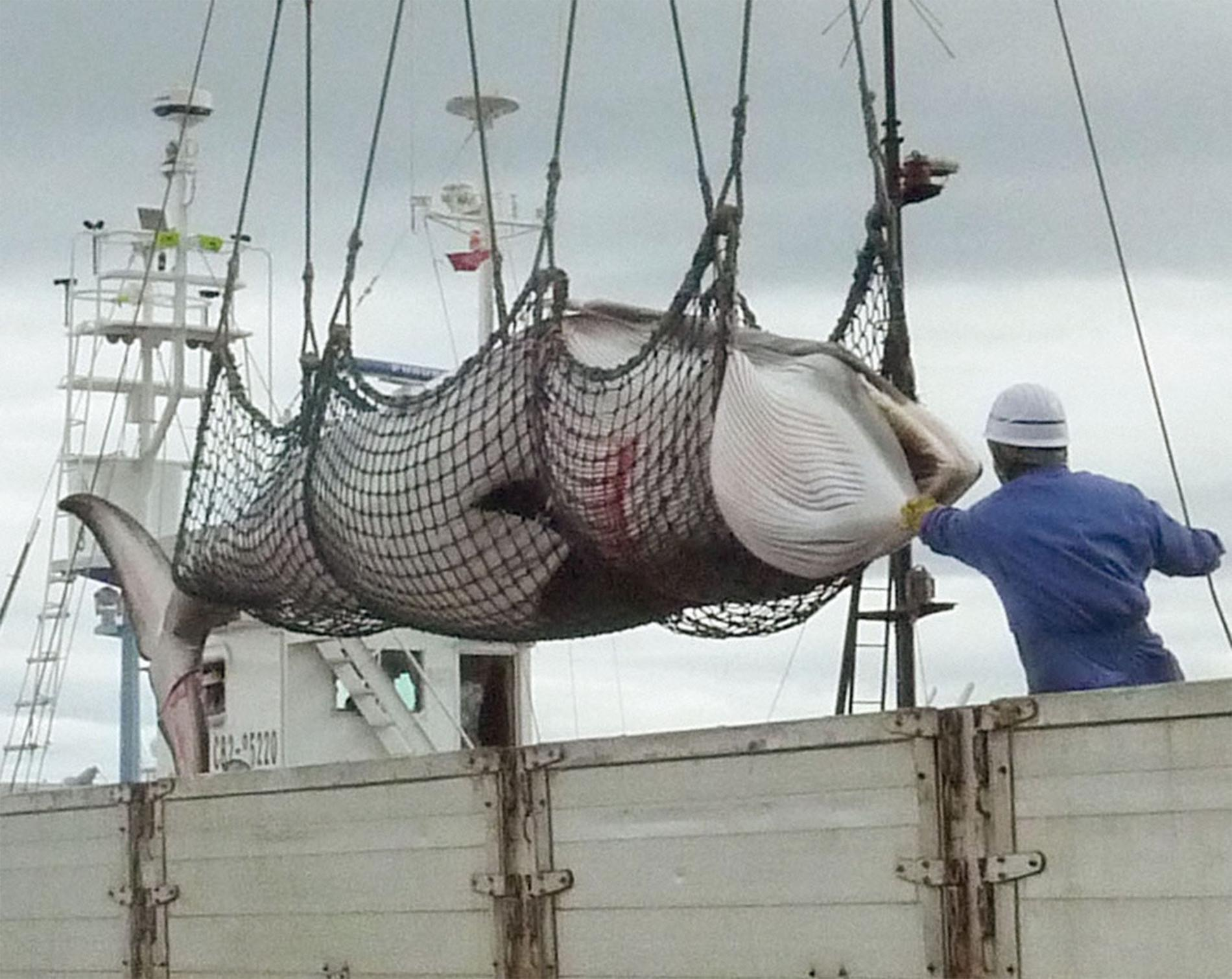 Minke whale killed - from National Geographic
