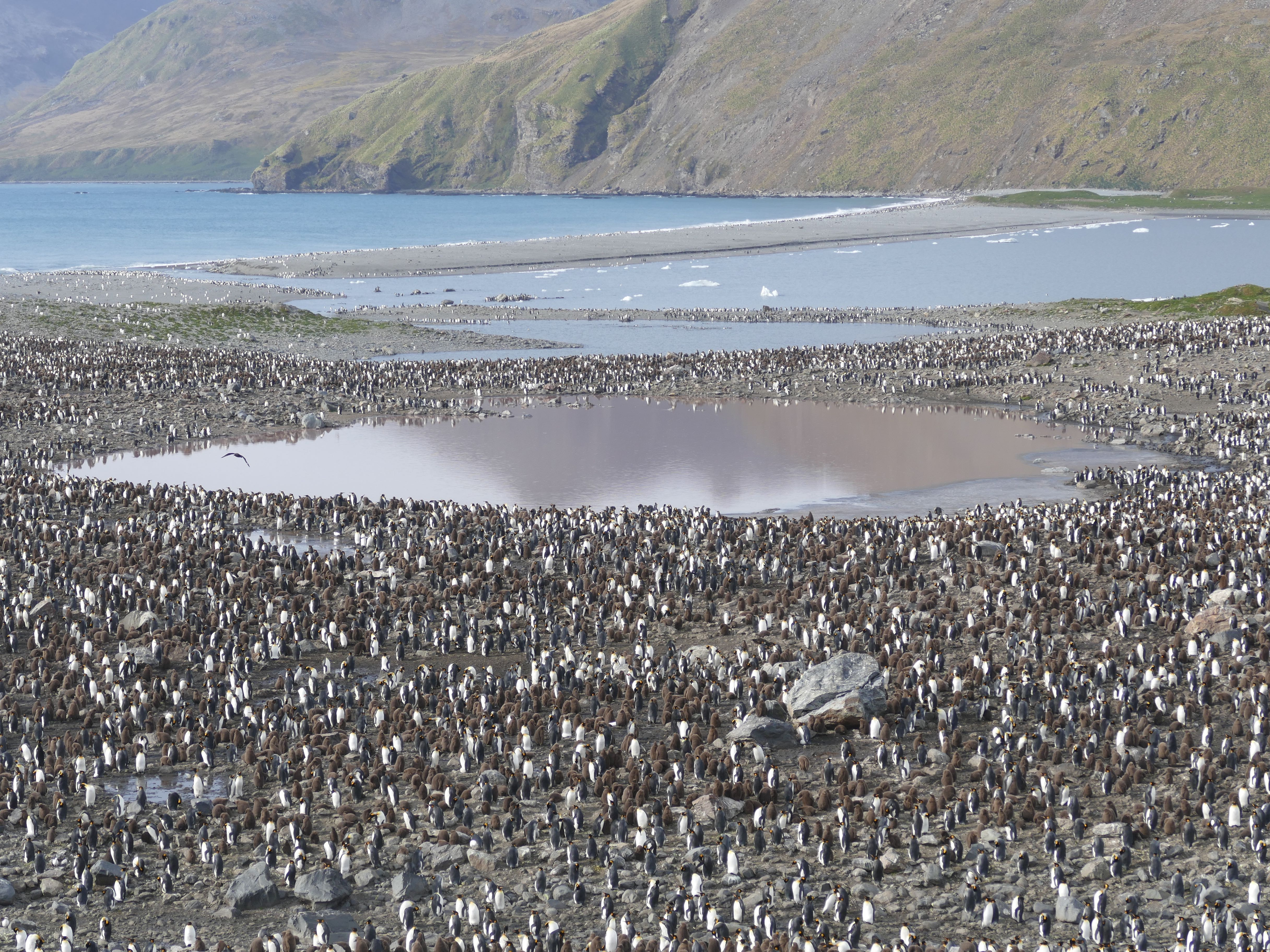Penguin City at St Andrew's Bay