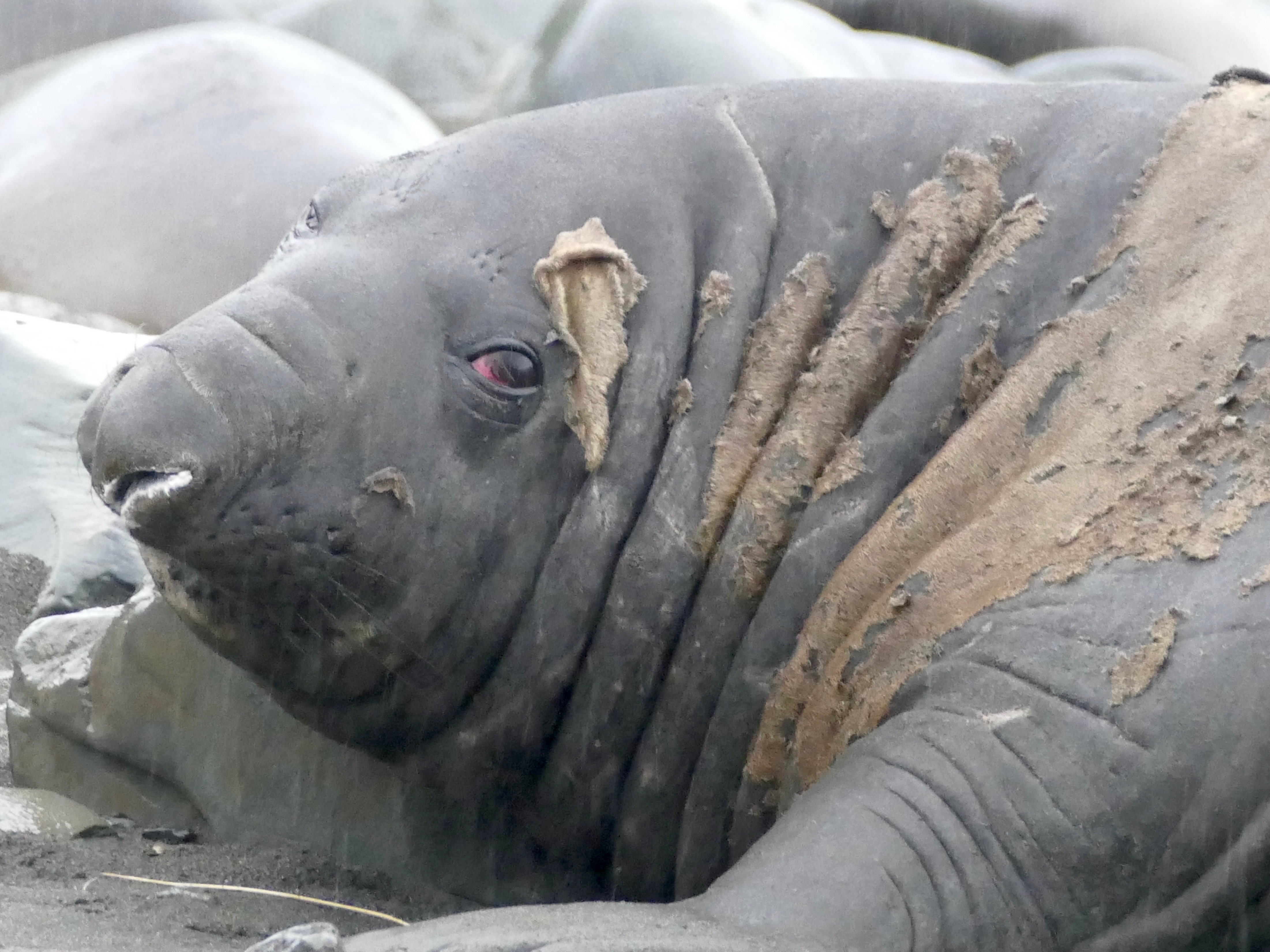 Moulting elephant seal at Gold Harbour