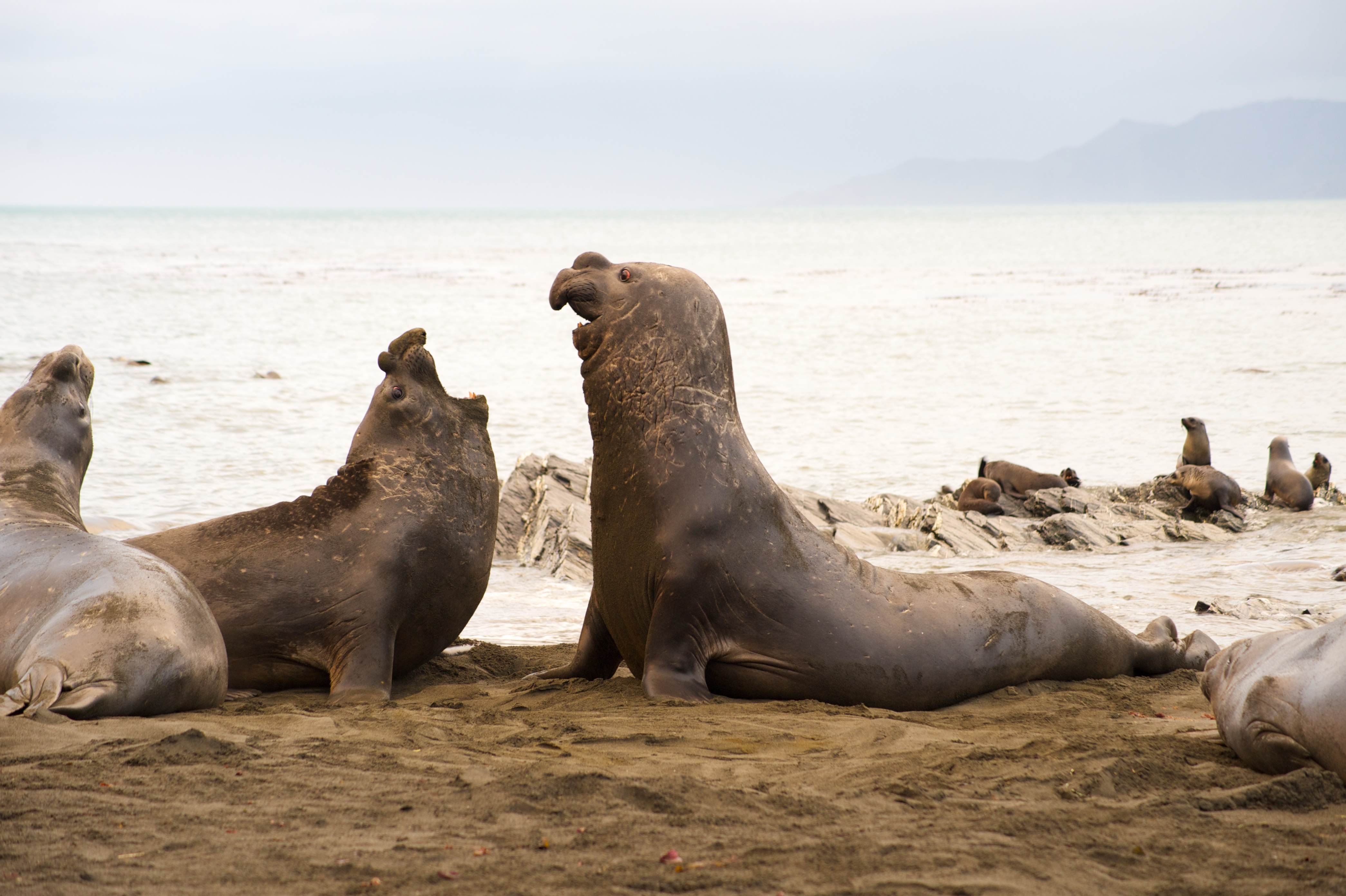 Elephant seals at Gold Harbour by Lynden