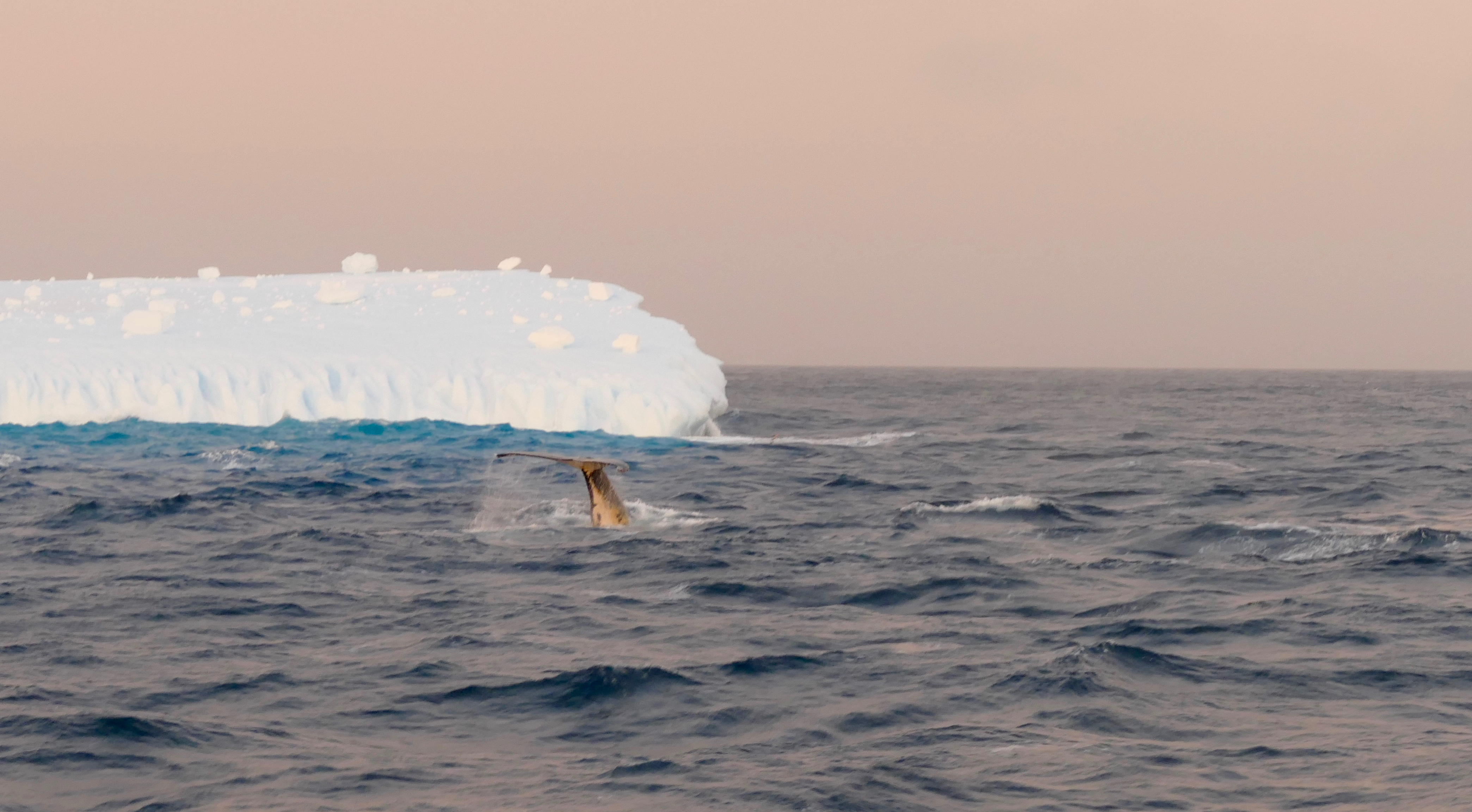 Hump backed whale diving in the Bransield Strait