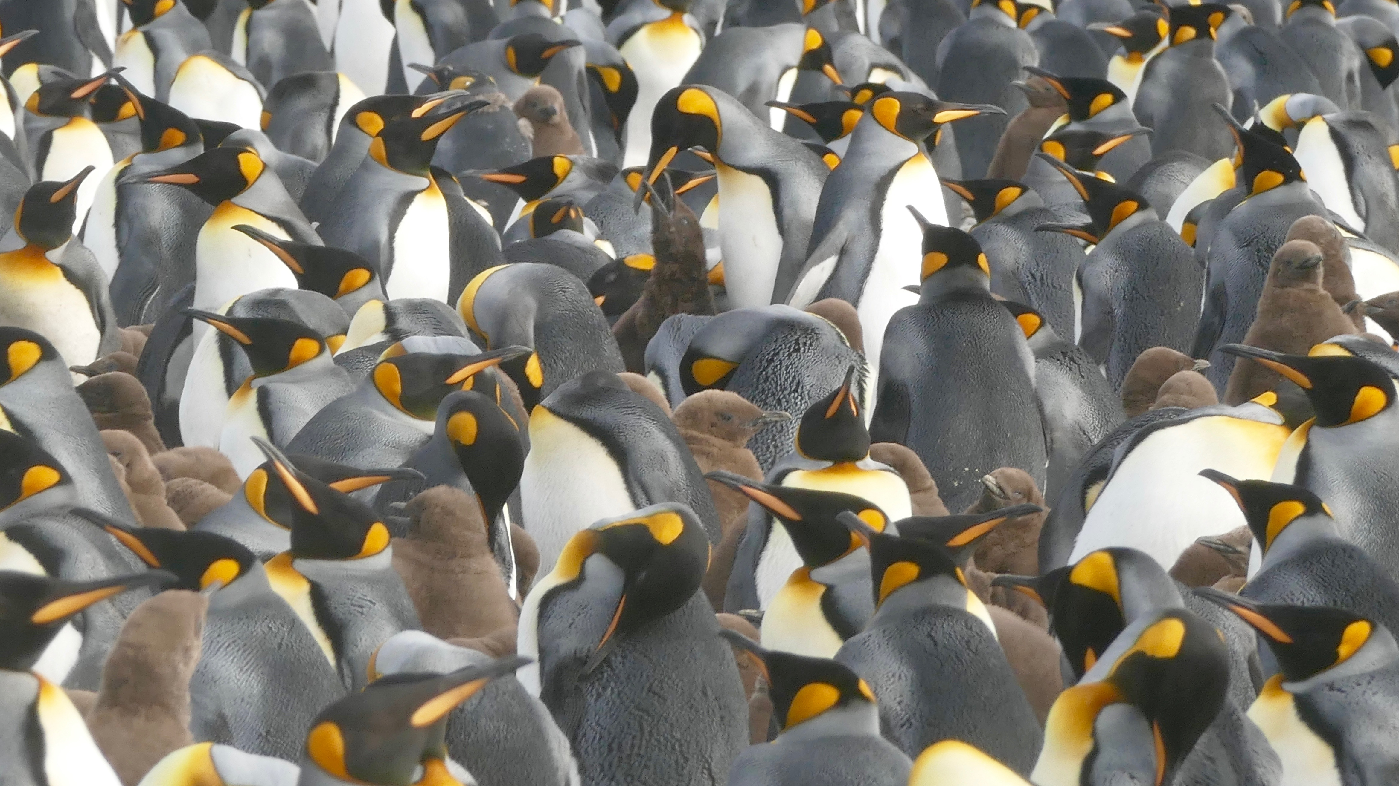 View of king penguin colony at Salisbury Plain