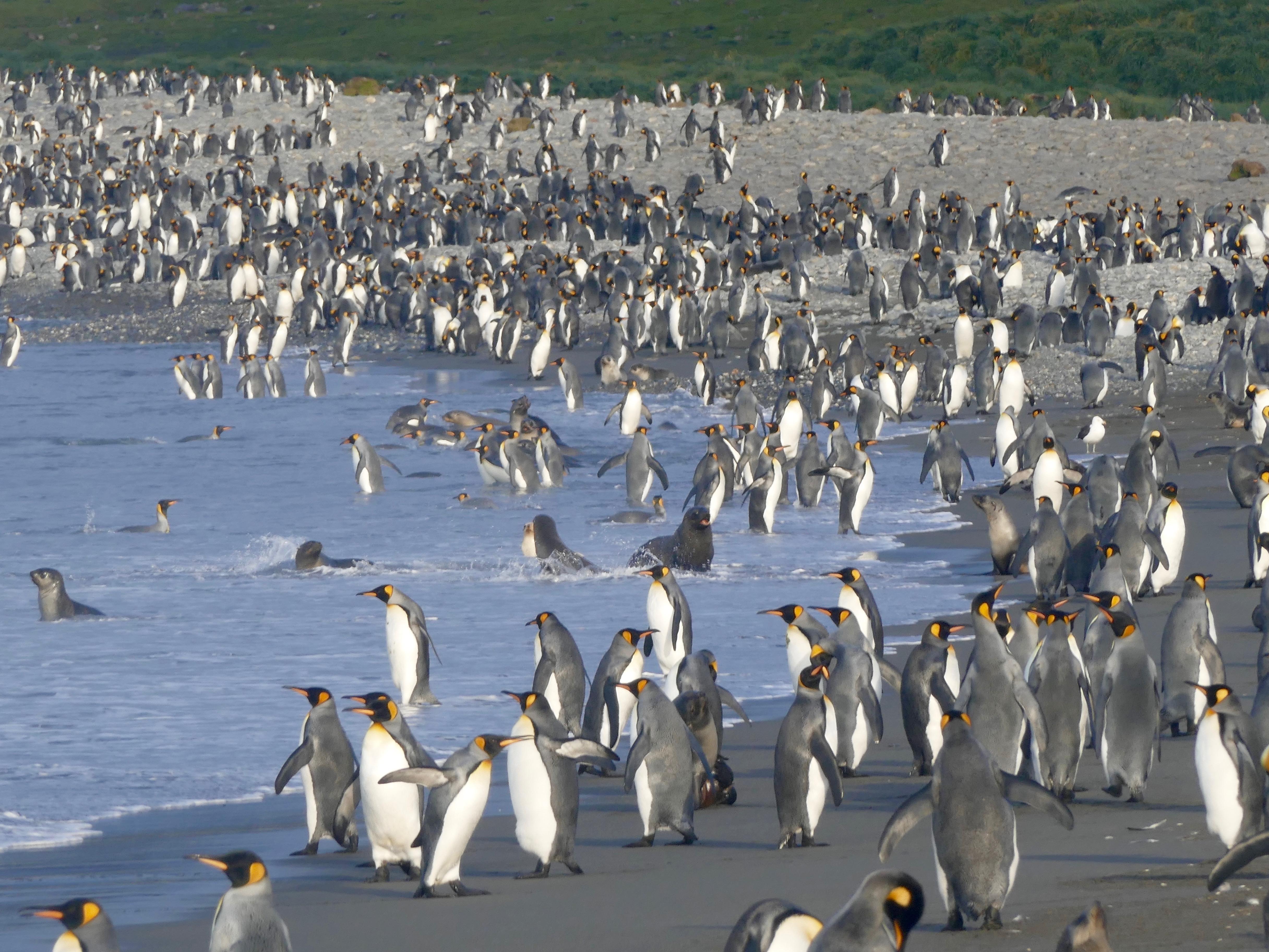 king penguins along the beach at Salisbury Plain