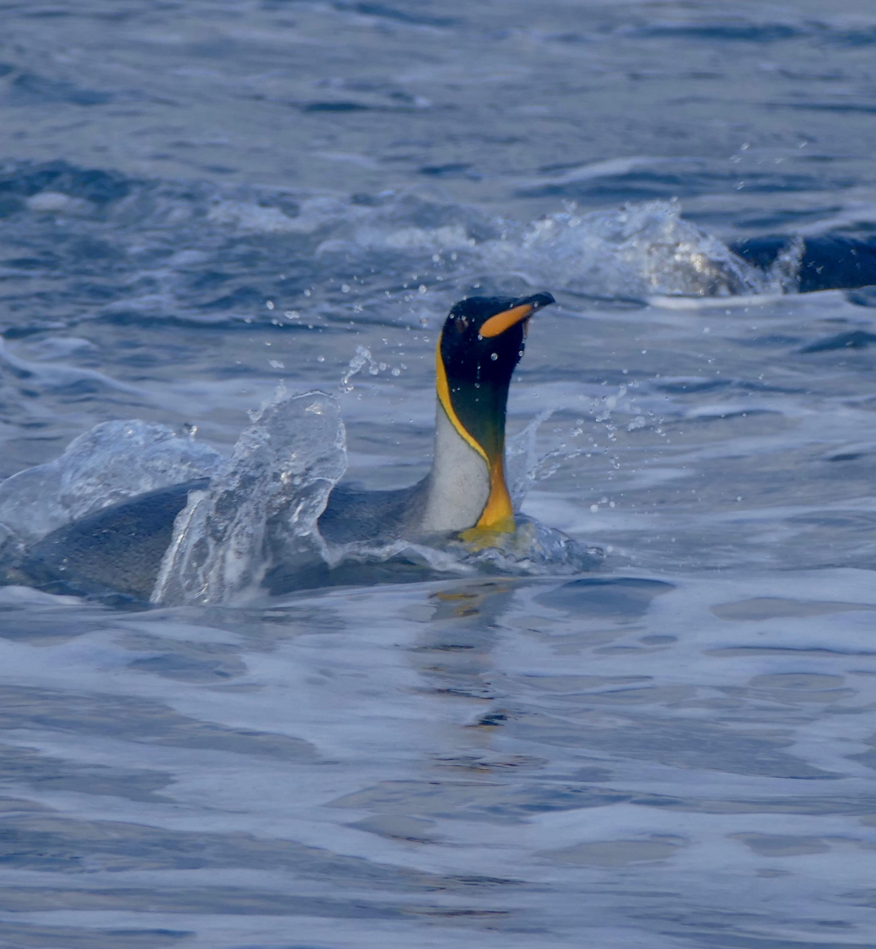 penguin looking round in the sea at Salisbury Plain, South Georgia