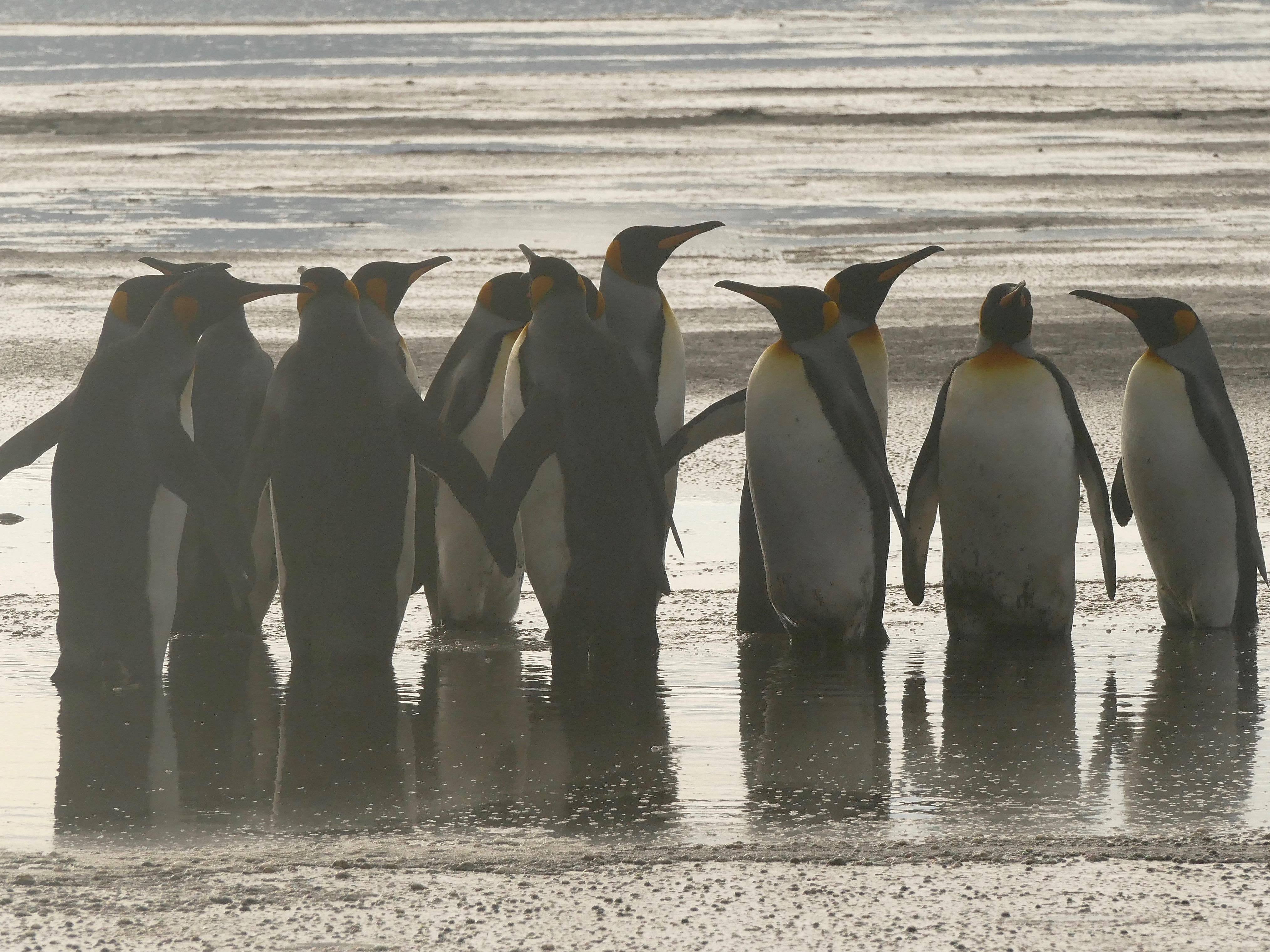 Penguin highway through lake at Salisbury Plain