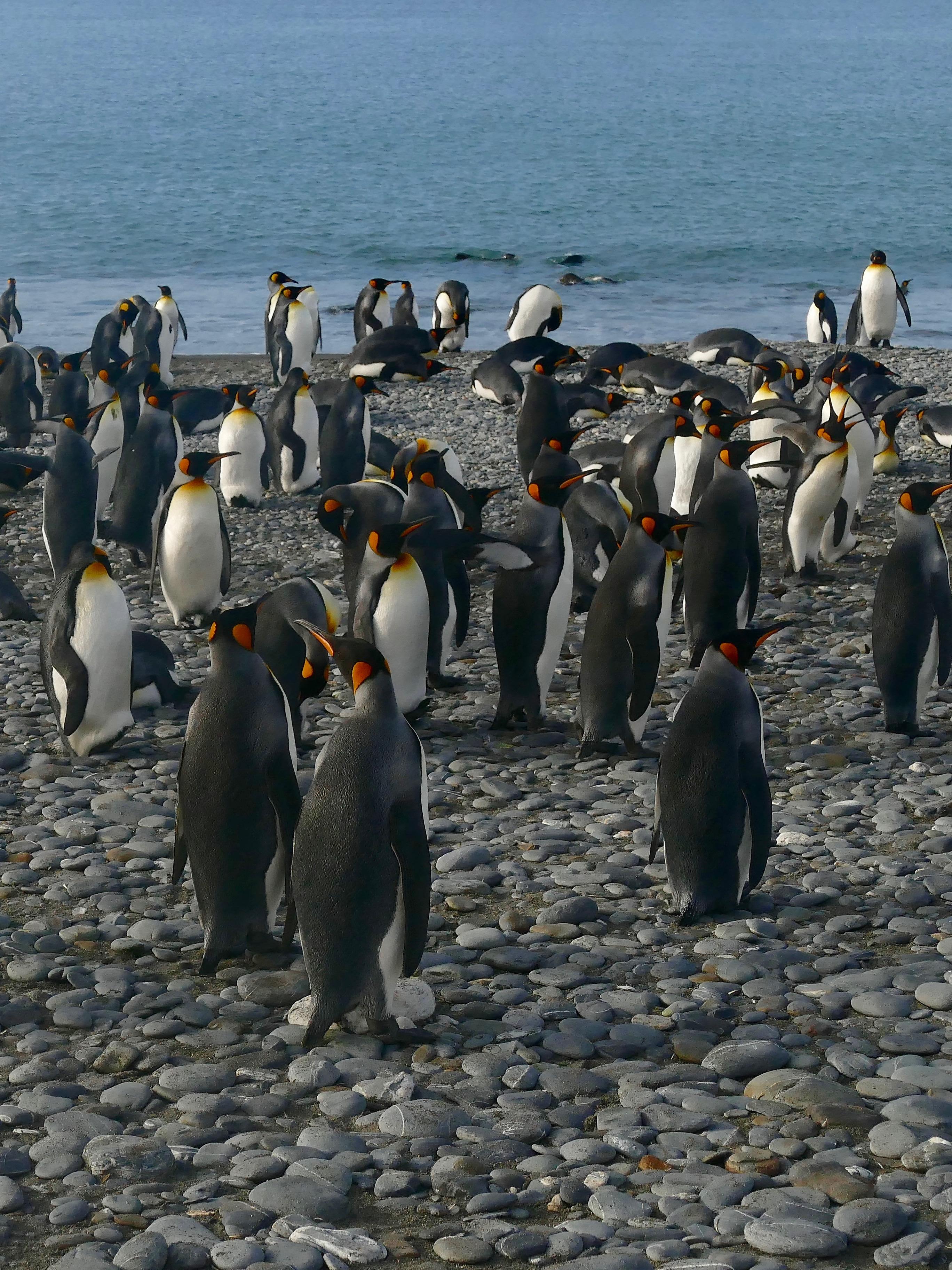 King penguins walking to the sea at Salisbury Plain in South Georgia