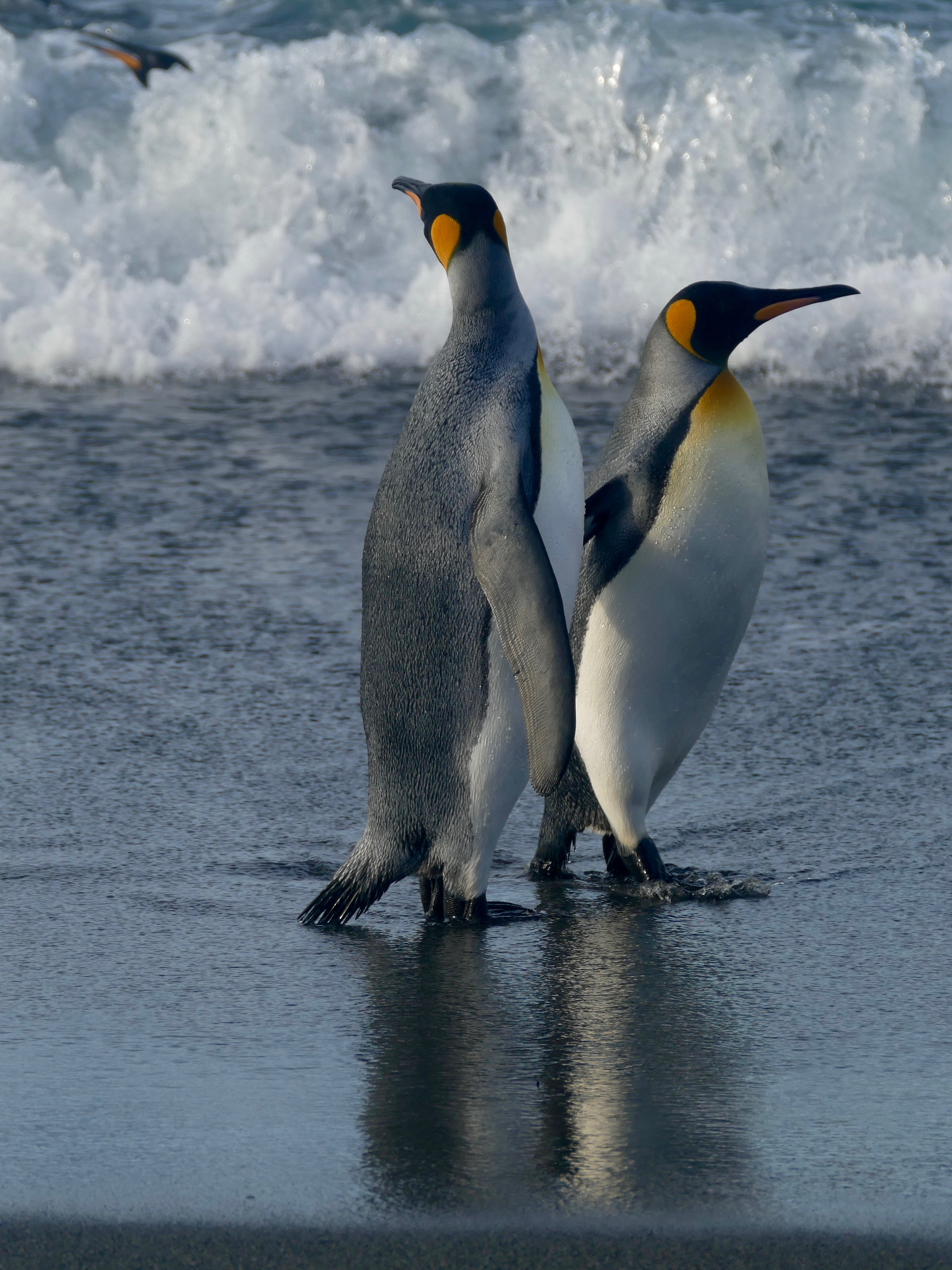 Penguins out for a stroll at Salisbury Plain
