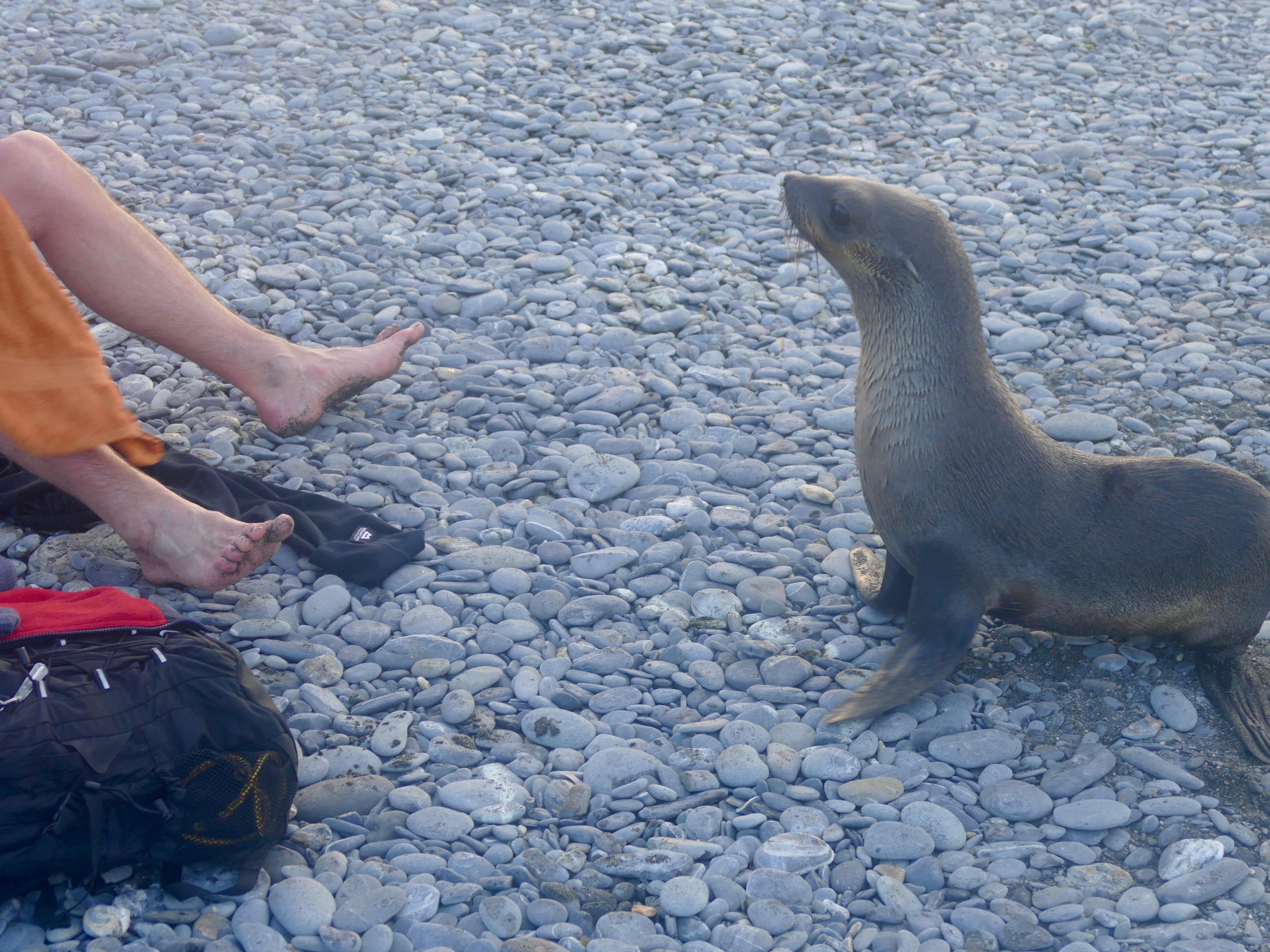 Salisbury Plain fur seal investigates the toes of a swimmer who was all smiles off camera