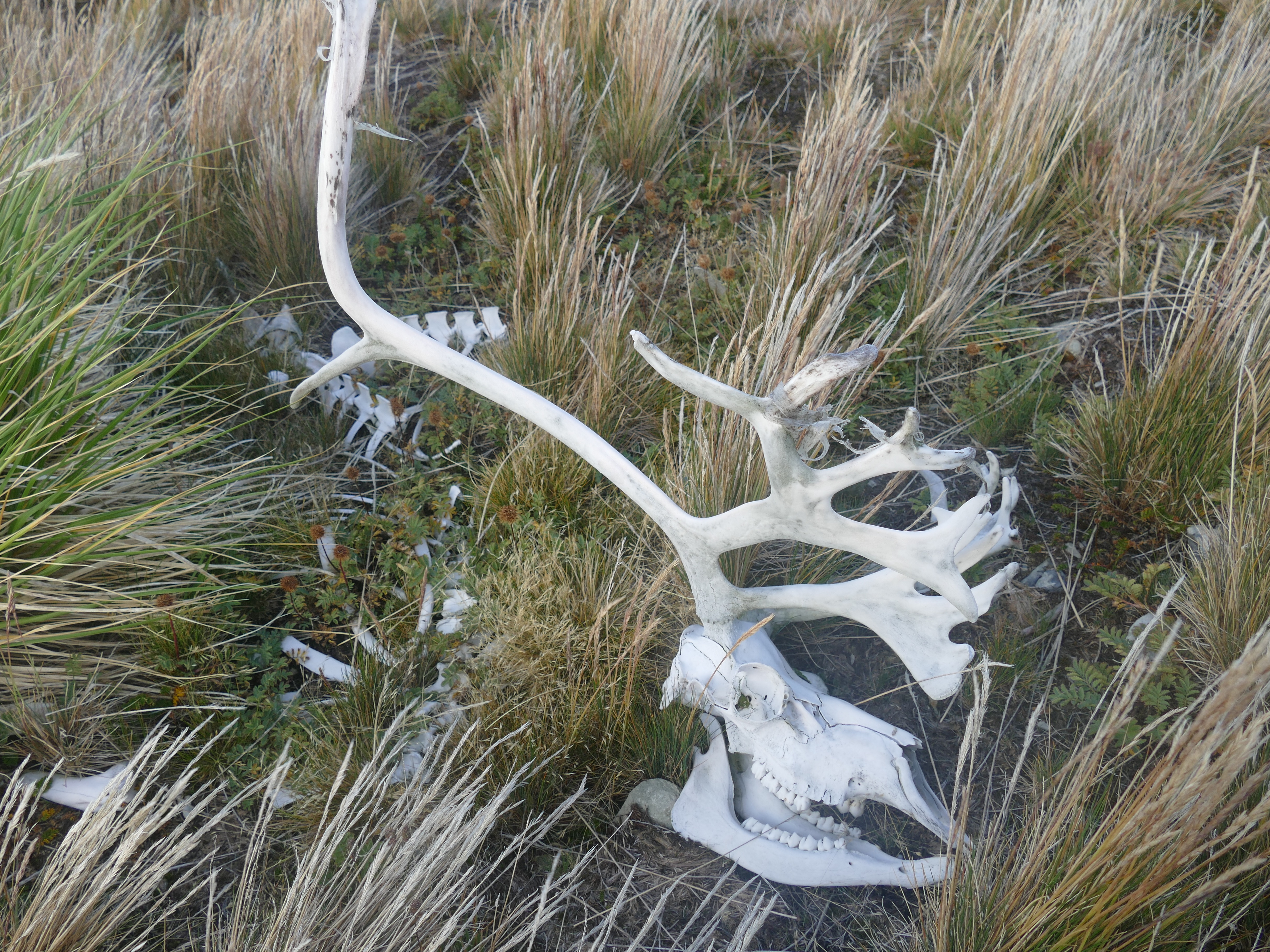 Reindeer skull in grass on the headland above Stromness