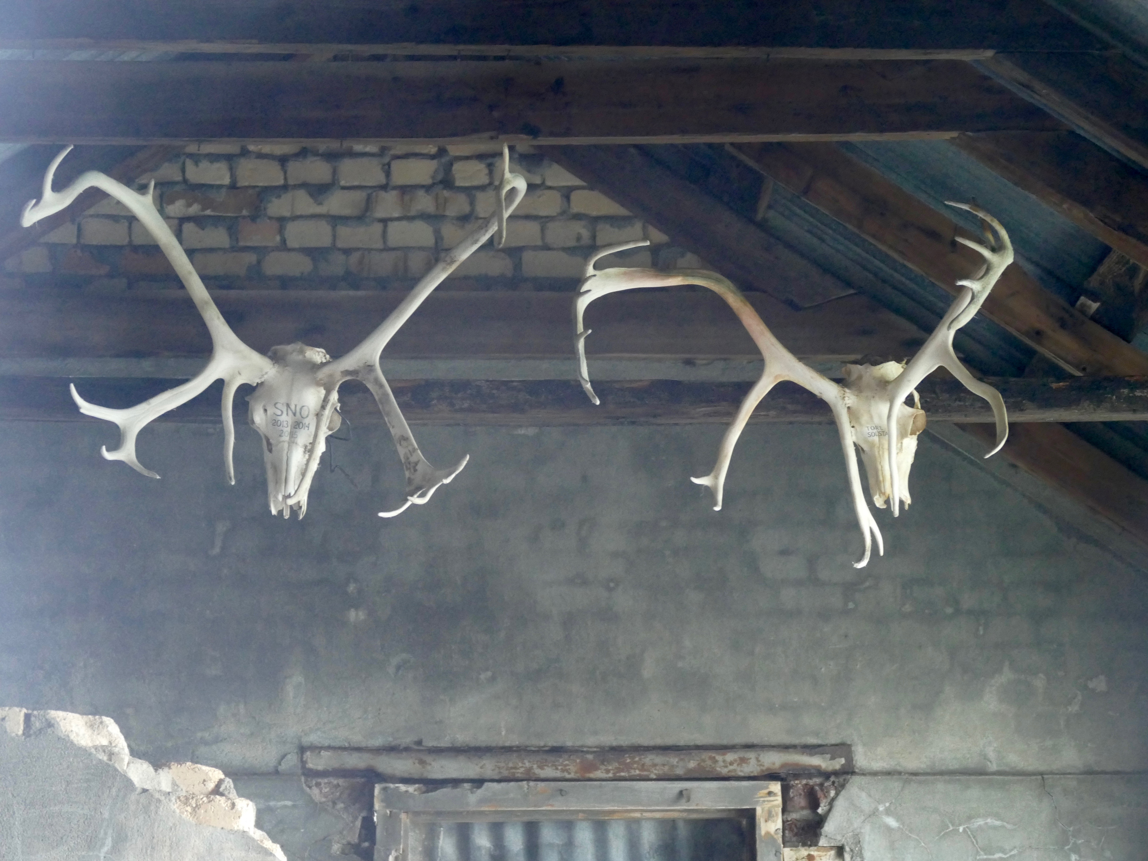 Reindeer skulls at Ocean Harbour, another site of conservation in the South Georgia heritage array
