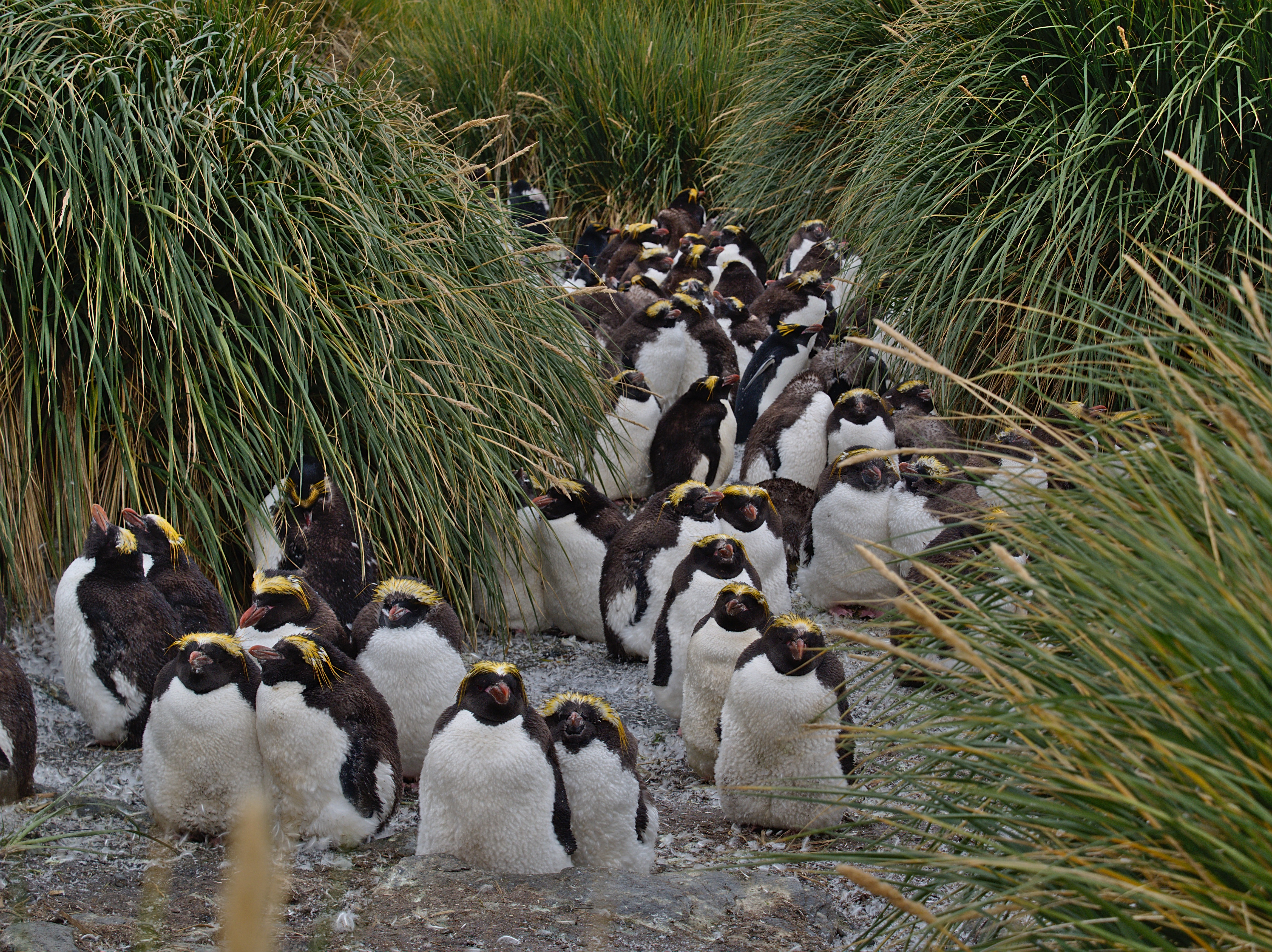Macaroni penguins (by Paul Cameron)
