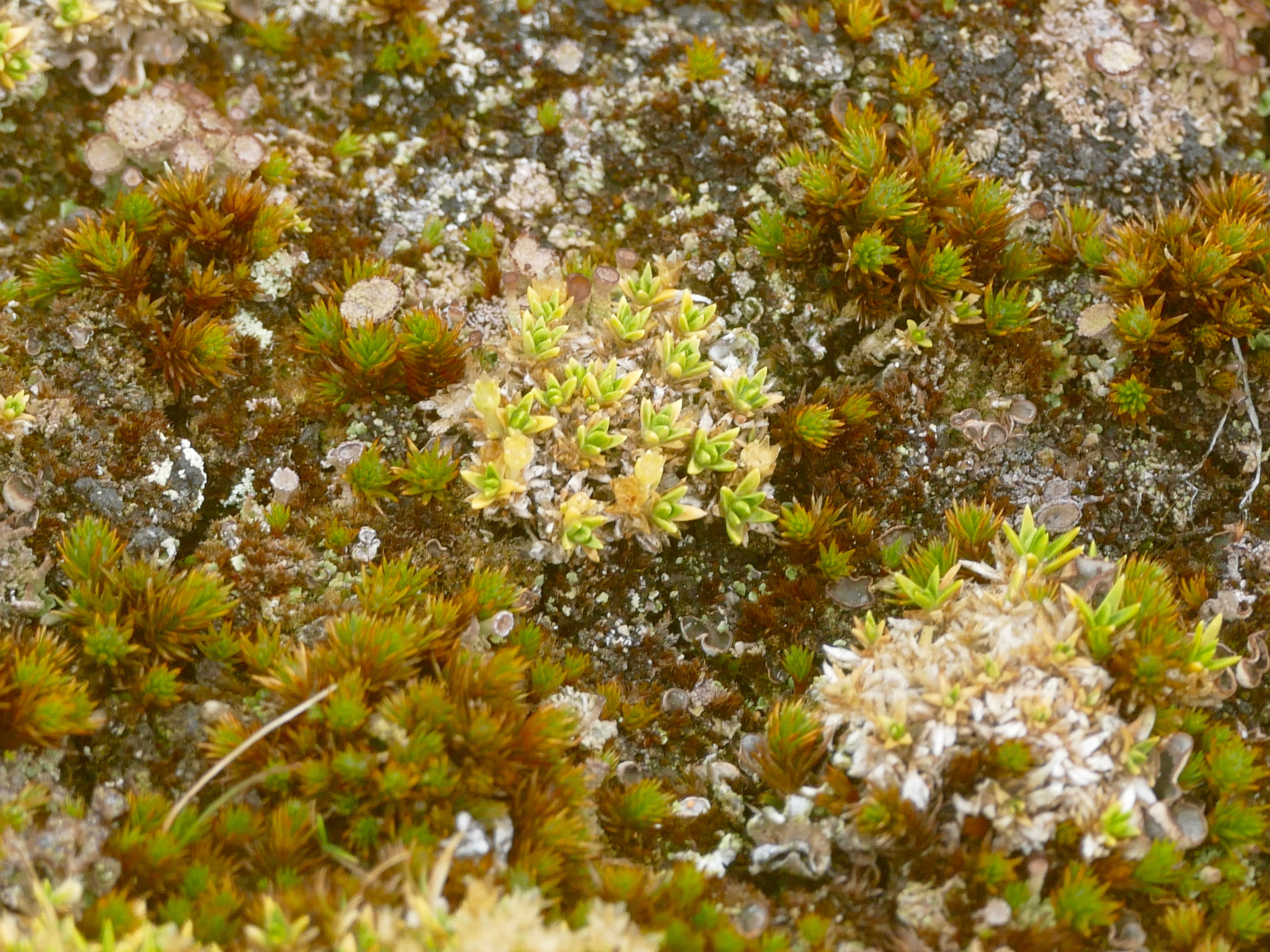 Saxifrages above Godthul