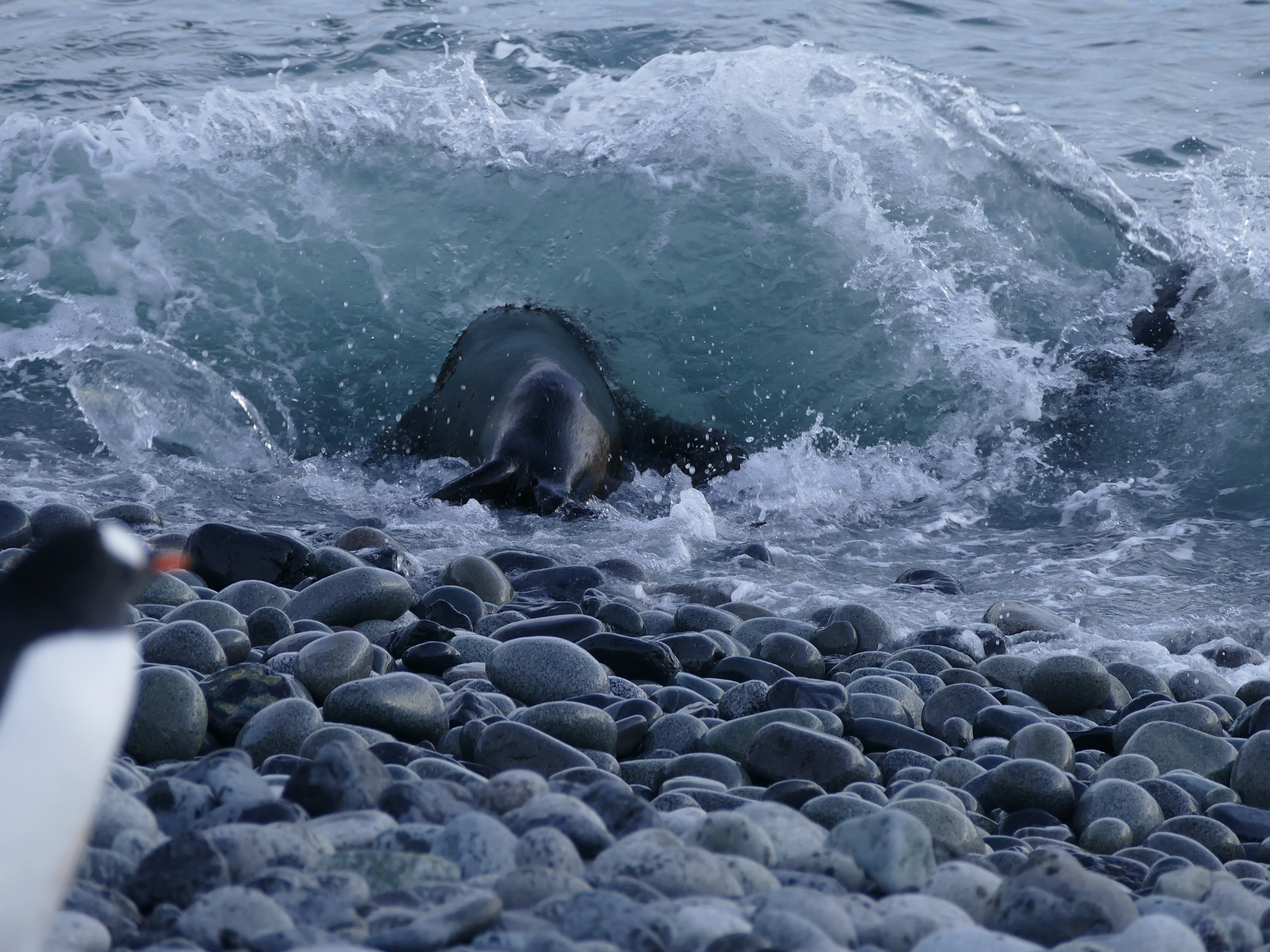 Fur Seal entering the water at Fort Point