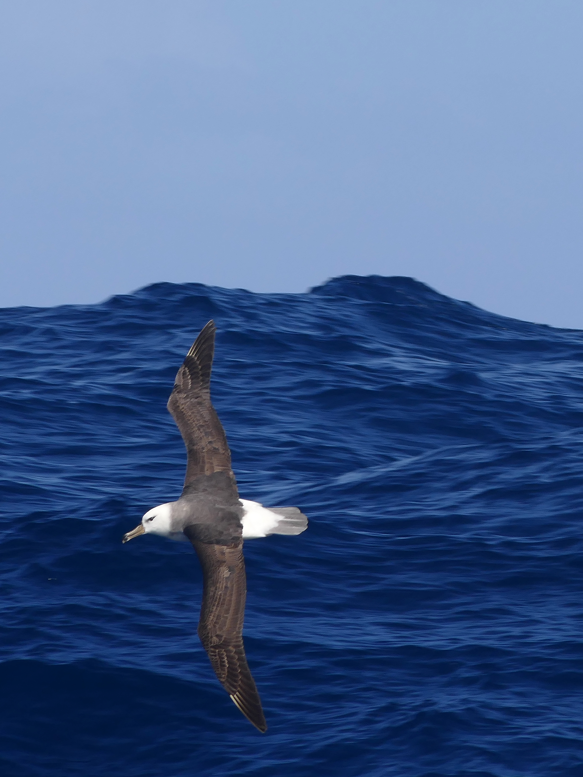 albatross, black-browed, South Atlantic